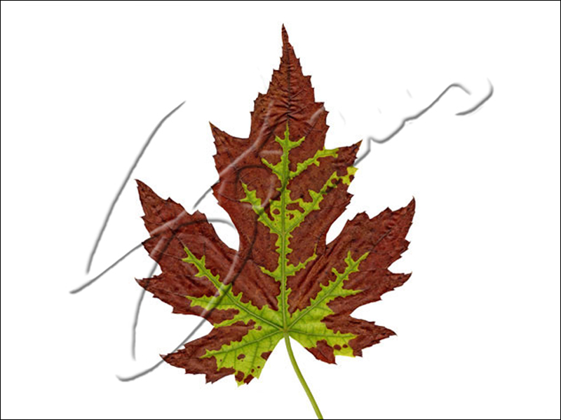 Brown Leaf With Green Trim - 2014