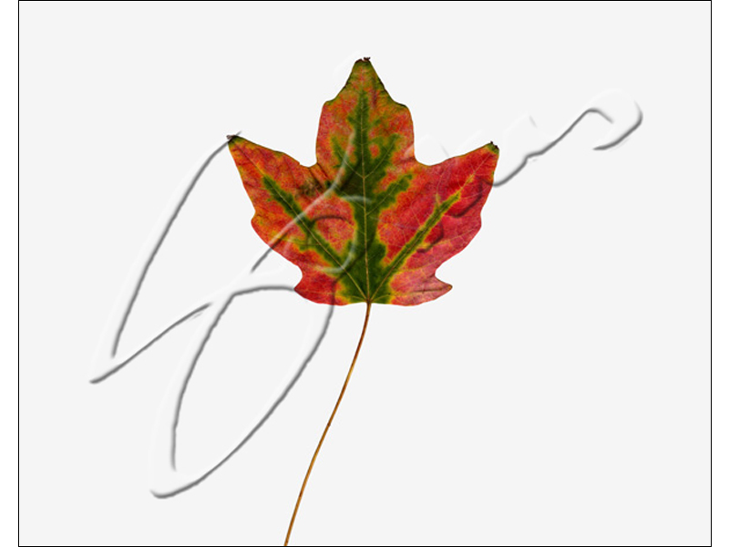 Red Leaf with Green Trim - 2013